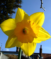 a photo of a yellow daffodil against a blue sky